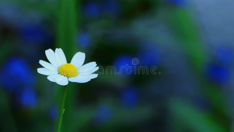 Makro- Chamomile kwiat zamknięty w górę stokrotka kwitnie biel Natury t?o z copyspace dzikiego kwiatu łąka, botanika i biologia,  obraz royalty free