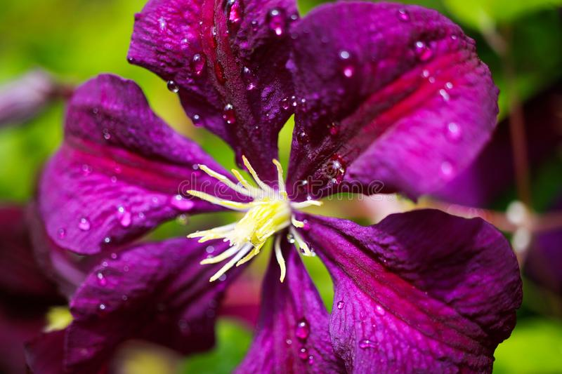 Makro close up of pink flower blossom Clematis viticaria president romantika stock photography