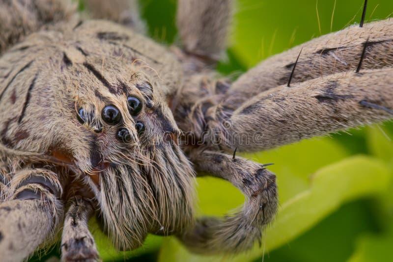 Makro- Ctenido Phoneutria pająk zdjęcia stock