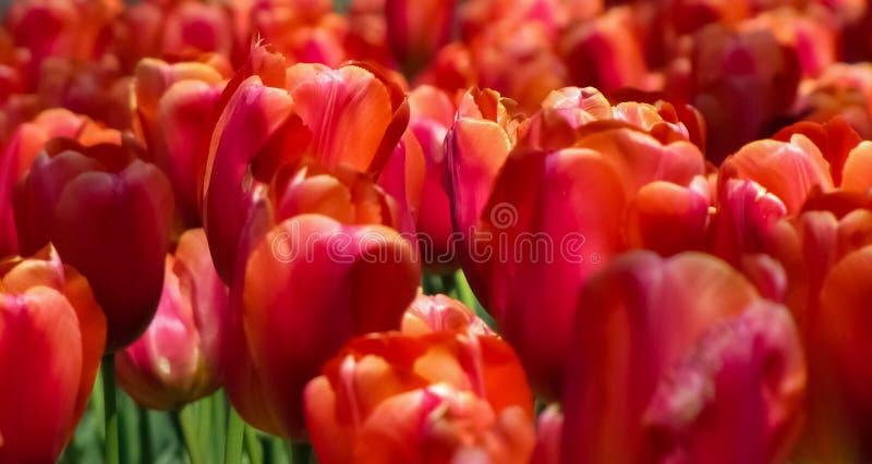 Makro- Czerwoni tulipany obrazy royalty free