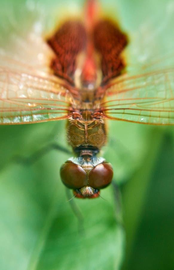 Makro- Czerwony Dragonfly ciało na Zielonym liściu obraz royalty free