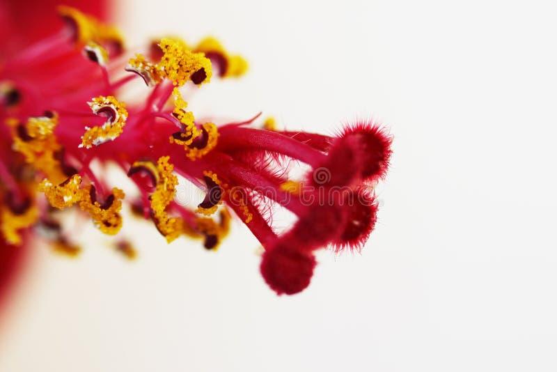 Makro- czerwony pistil i żółty kwiatów stamens poślubnika rodziny Malvaceaeon bielu tło obraz stock