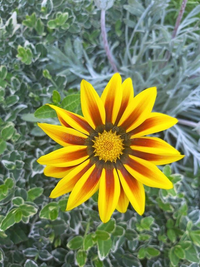 Makro- dalhia kwiatu żółty okwitnięcie zdjęcie stock