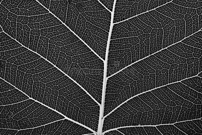 Makro- delikatna liść komórki struktura obrazy stock