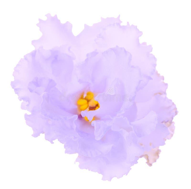 Makro- delikatny światło - fiołkowy kwiat odizolowywający na bielu fotografia royalty free
