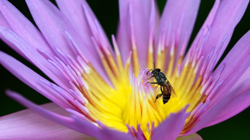 Makro der Biene sammeln gelben Blütenstaub vom purpurroten Lotos lizenzfreie stockfotos