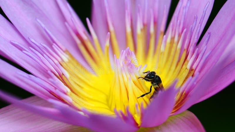 Makro der Biene sammeln gelben Blütenstaub vom purpurroten Lotos lizenzfreie stockfotografie