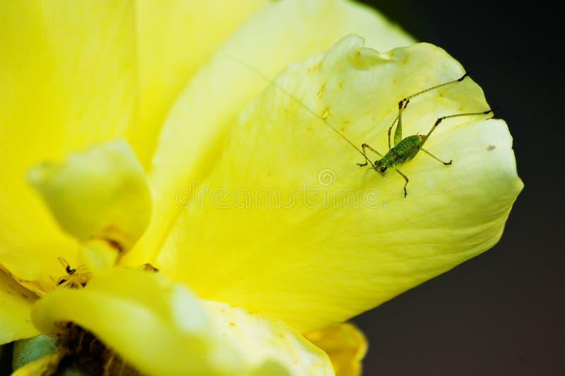 Makro der kleinen grünen Heuschrecke auf gelber Blume stockbilder