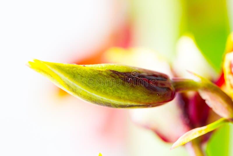 Makro der Orchideenknospe lizenzfreie stockbilder