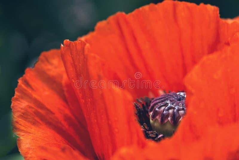 Makro der roten Mohnblume in voller Blüte lizenzfreies stockbild