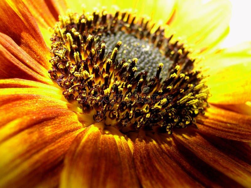 Makro der Sonnenblume lizenzfreie stockbilder