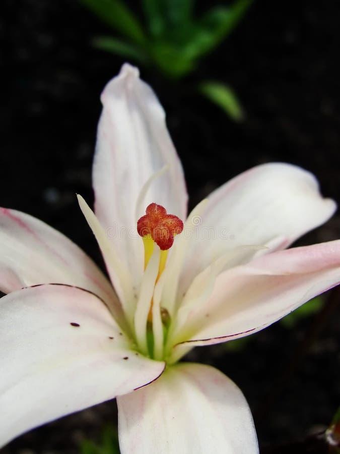 Makro der weißen roten Blume mit dem Blütenstaub auf Anthere stockfotos