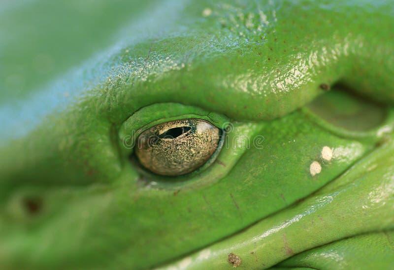 Makro des Baum-Frosch-Augen-(litoria caerulea) lizenzfreies stockbild