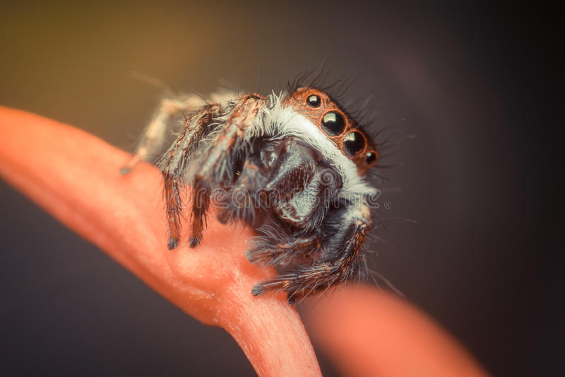 Makro des Insekts der Spinne (springende Spinnen Santa Claus) lizenzfreies stockbild