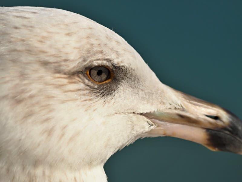 Makro des Kopfes einer Seemöwe lizenzfreie stockfotografie