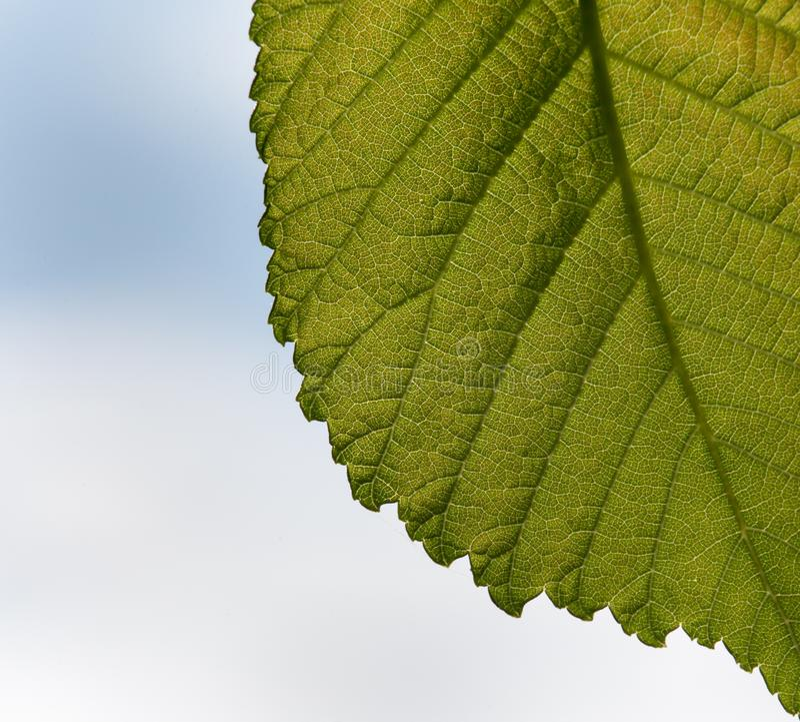 Makro des Ulmenblattes stockbild