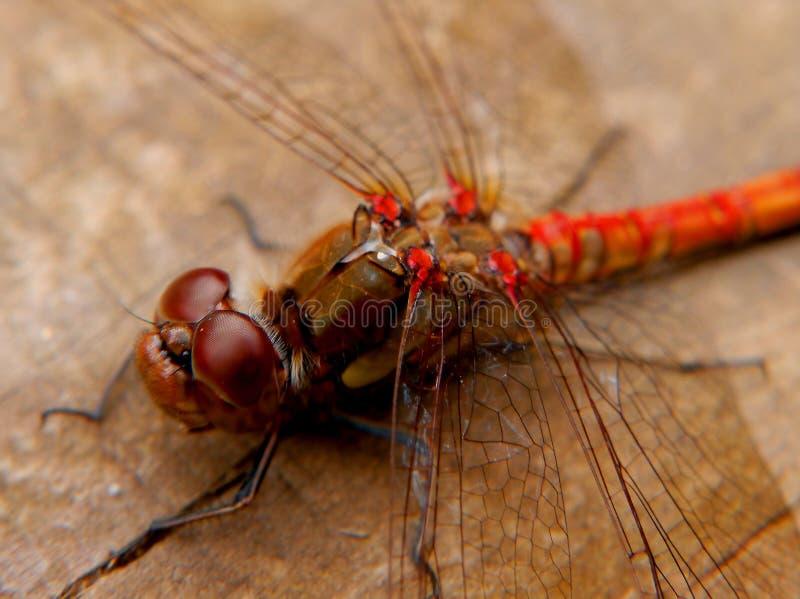 Makro- Dragonfly obrazy stock
