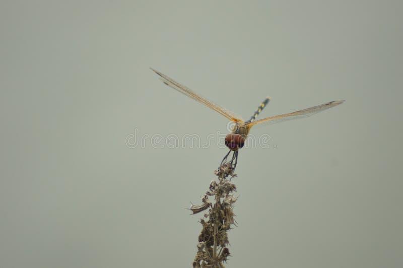 Makro- Dragonfly obrazy royalty free