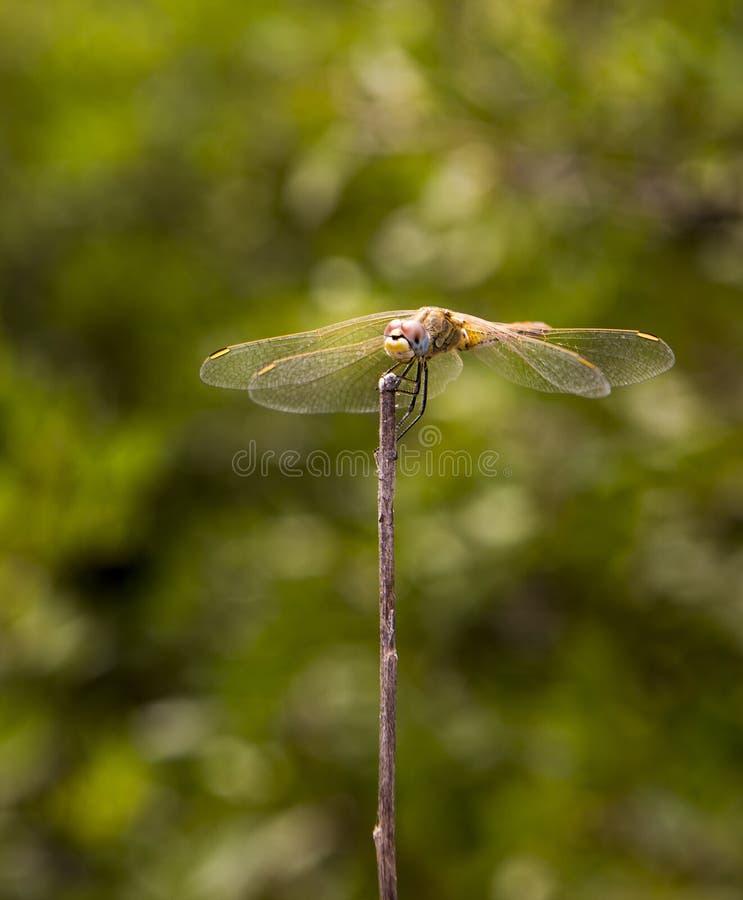 Makro: Dragongfly lizenzfreies stockbild