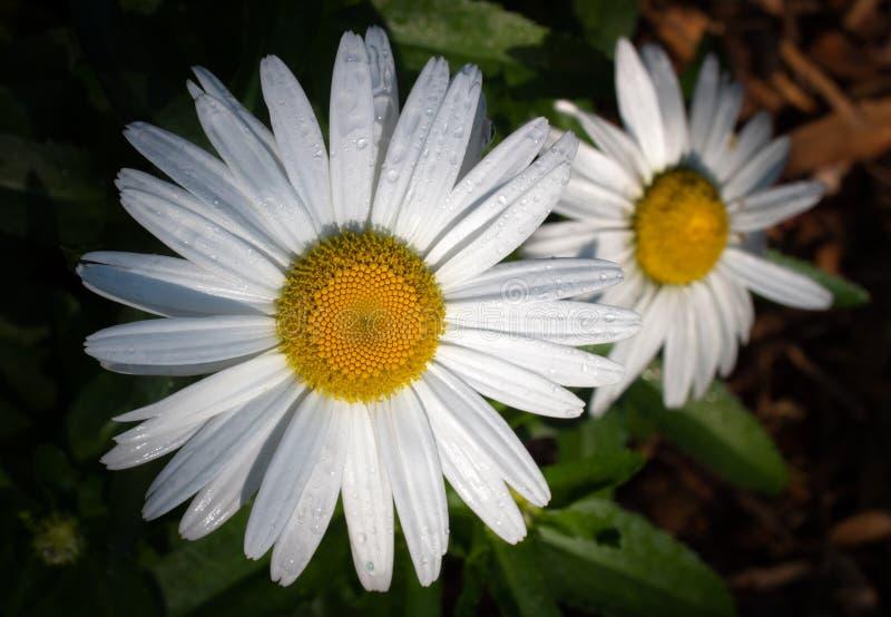 Makro- Dwa stokrotka kwiatu Mokrego Po lato deszczów obraz royalty free