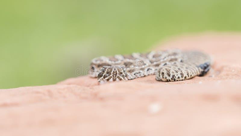 Makro- Dzicy dziecko Preryjnego grzechotnika Crotalus viridis obraz royalty free