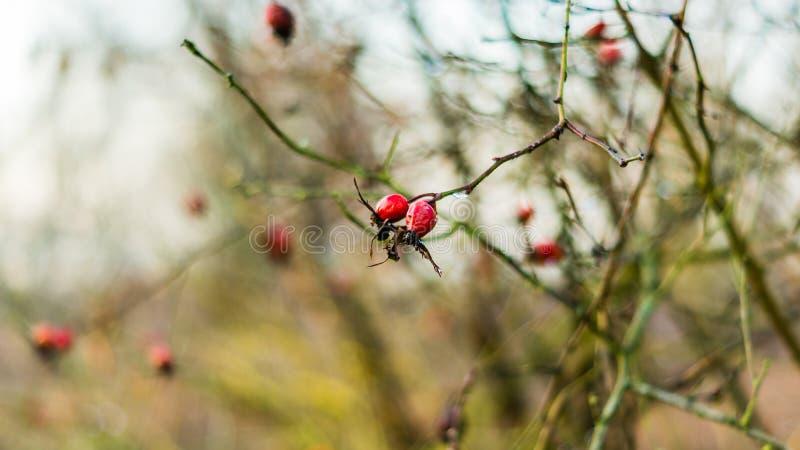 Makro- dzicy różani biodra w naturalnym świetle zdjęcie royalty free
