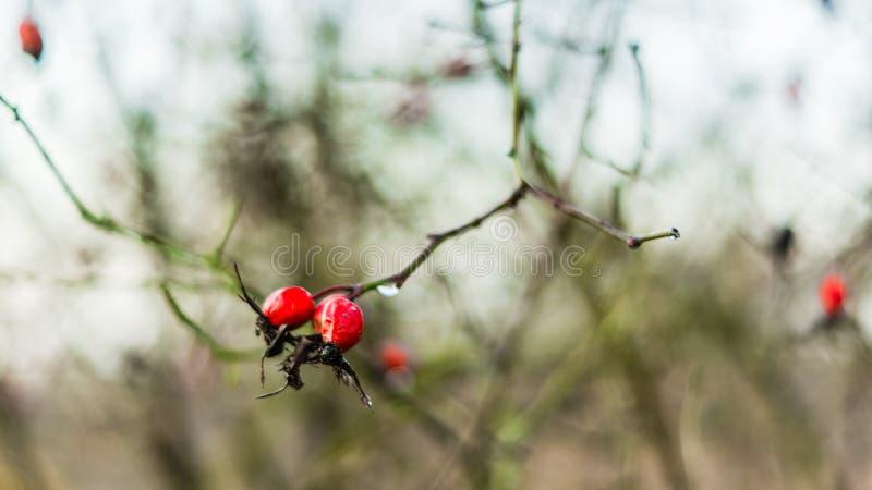 Makro- dzicy różani biodra w naturalnym świetle obrazy royalty free