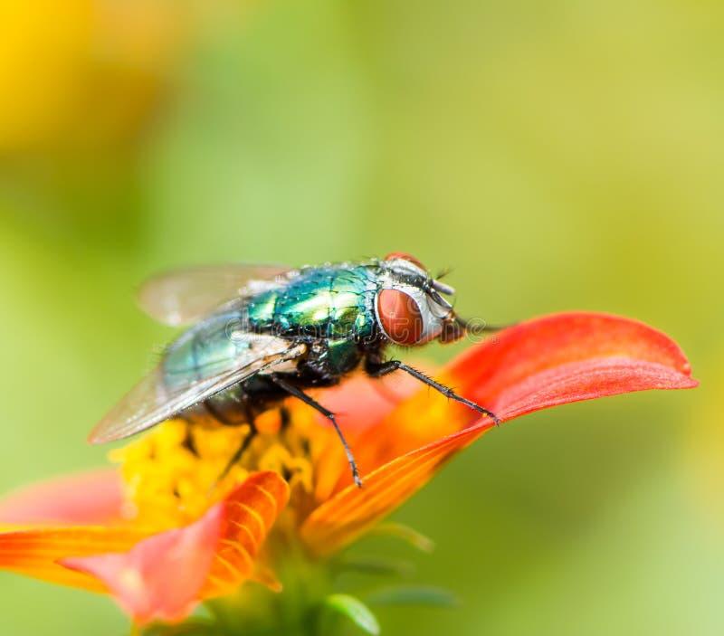 Makro einer Fliege auf einer roten Blumenblüte lizenzfreie stockfotos