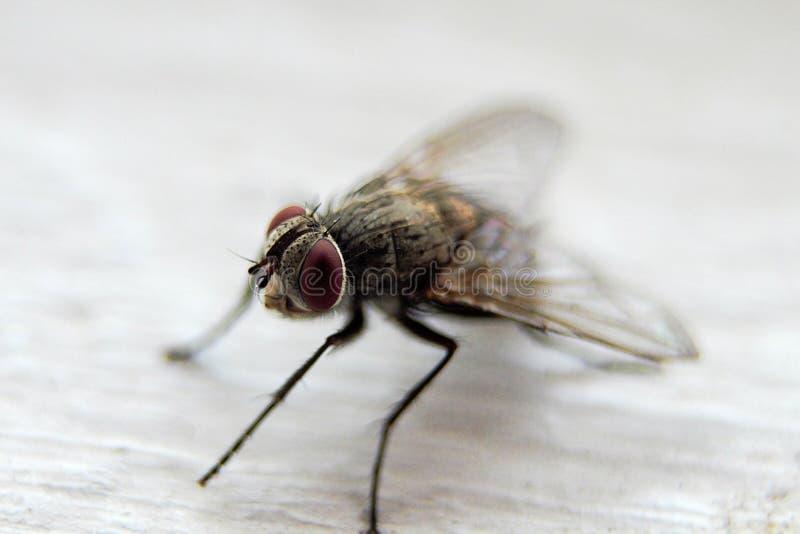 Makro einer Fliege gefunden in Südafrika stockfotografie