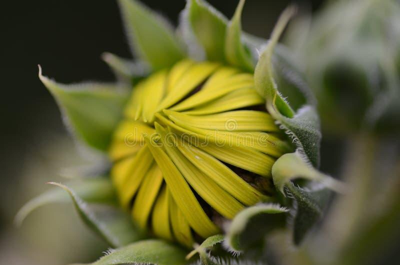 Makro einer geschlossenen Sonnenblume lizenzfreies stockfoto