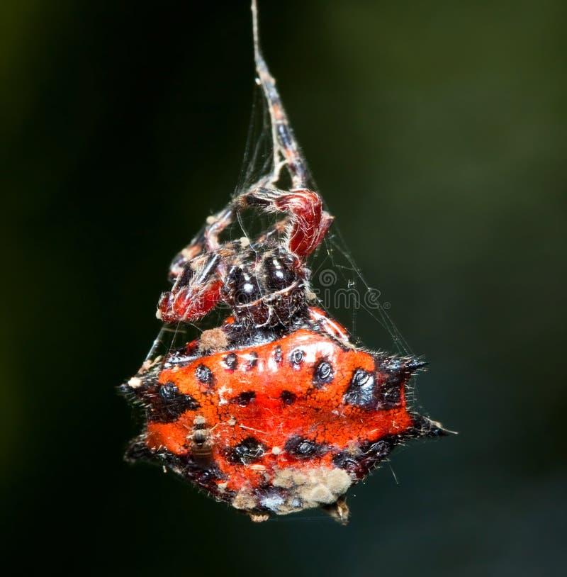 Makro einer roten und orange Spinne lizenzfreie stockfotos