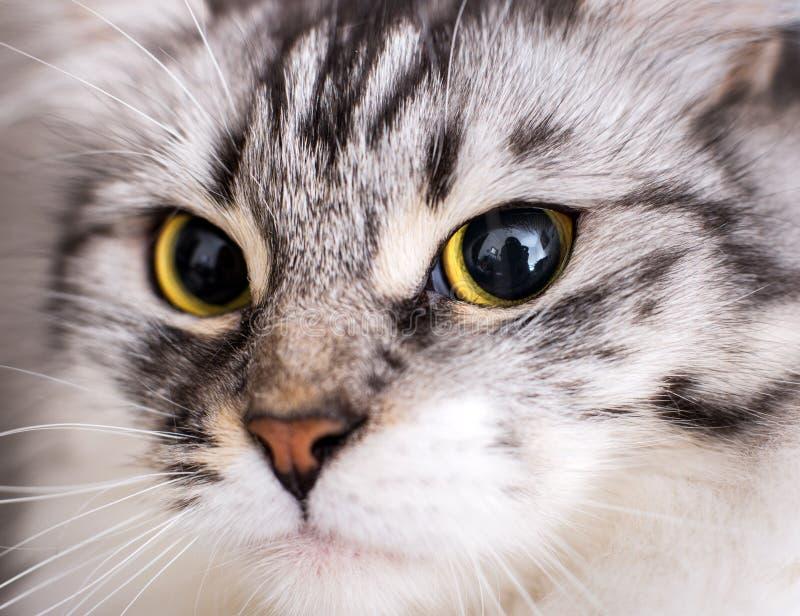 Makro einer schönen grauen Katze lizenzfreie stockbilder