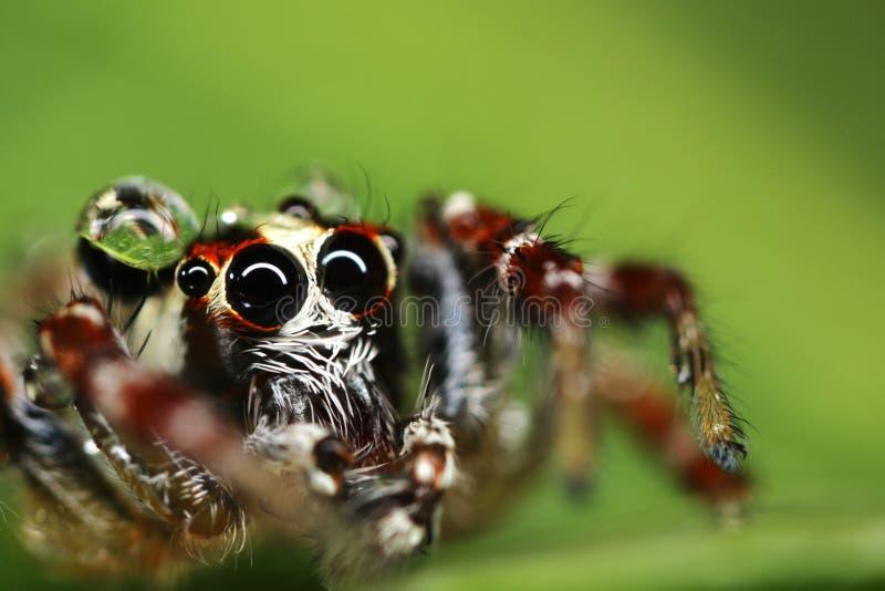 Makro einer springenden Spinne stockfoto