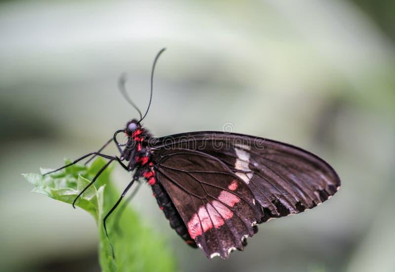 Makro eines schwarzen swallowtail, das auf einem grünen Blatt stillsteht lizenzfreies stockbild