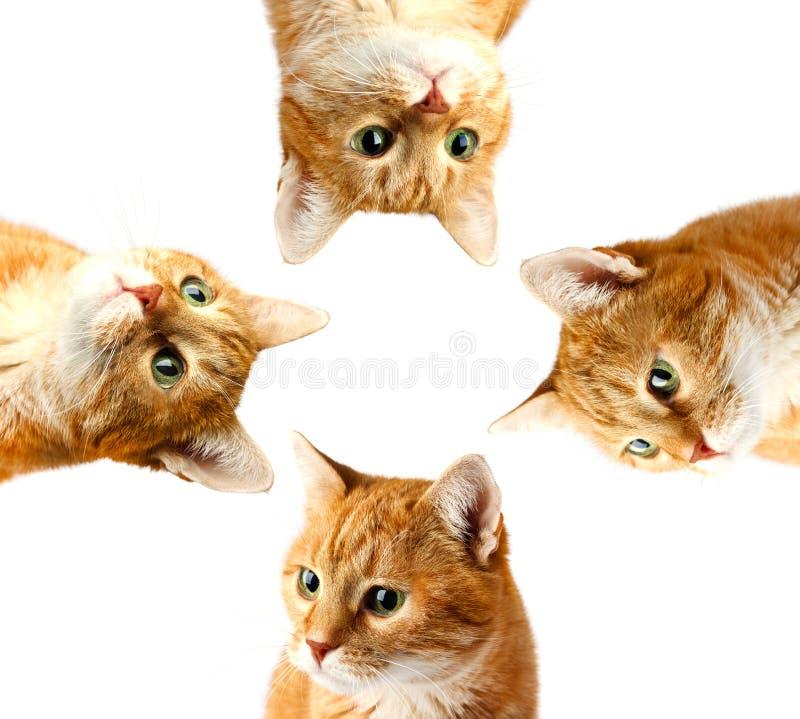 Makro erwachsene Katze des roten Gesichtes, lokalisiert auf einem Weiß stockfotos