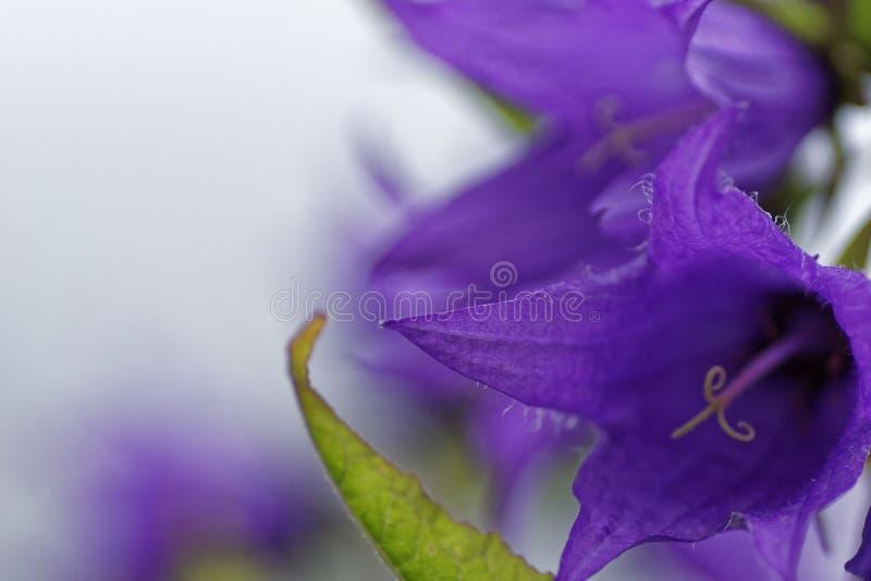 Makro för Klocka blomma arkivfoton