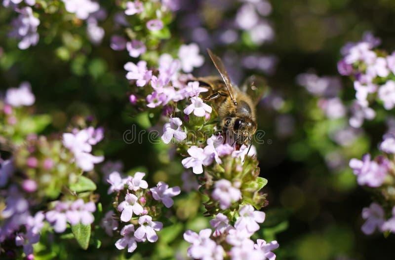 Makro fecha-se acima do thymus de florescência do arbusto do tomilho vulgar com polinizar isolado da abelha imagens de stock
