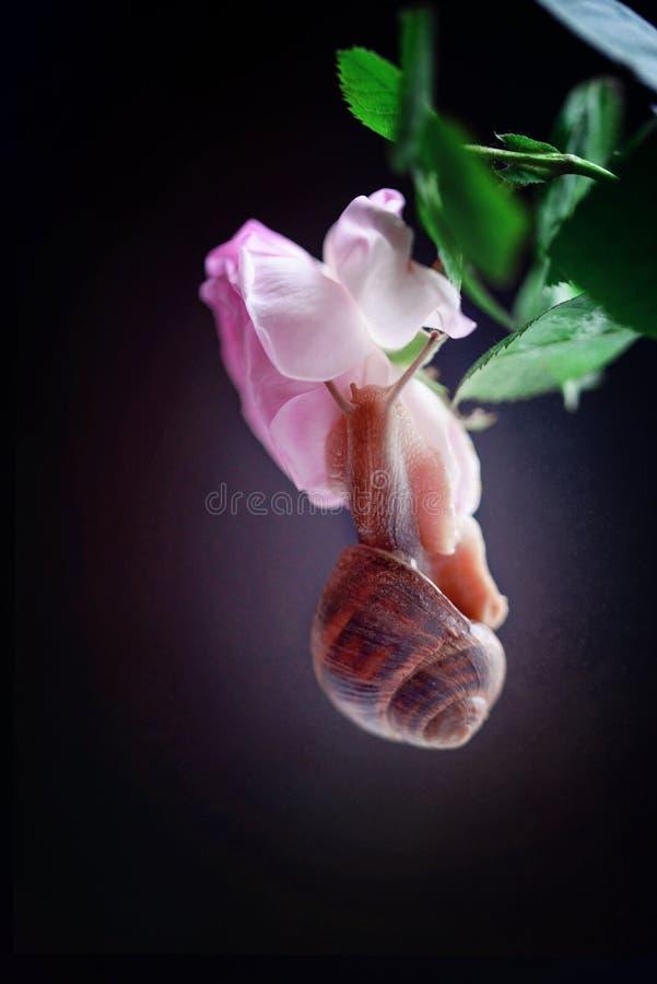 Makro- fotografia ślimaczek na czarnym tle zdjęcia stock