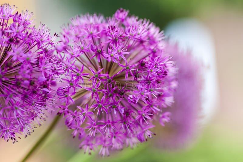 Makro- fotografia alium kwiaty zdjęcia stock