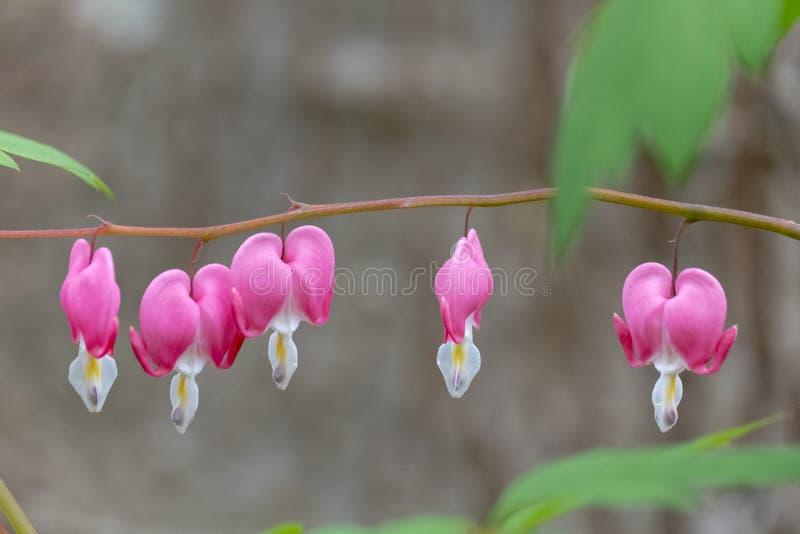 Makro- fotografia beeding serce kwiaty, także znać jak «dama w skąpaniu «lub lira kwiacie, fotografującym w Surrey, UK obraz royalty free
