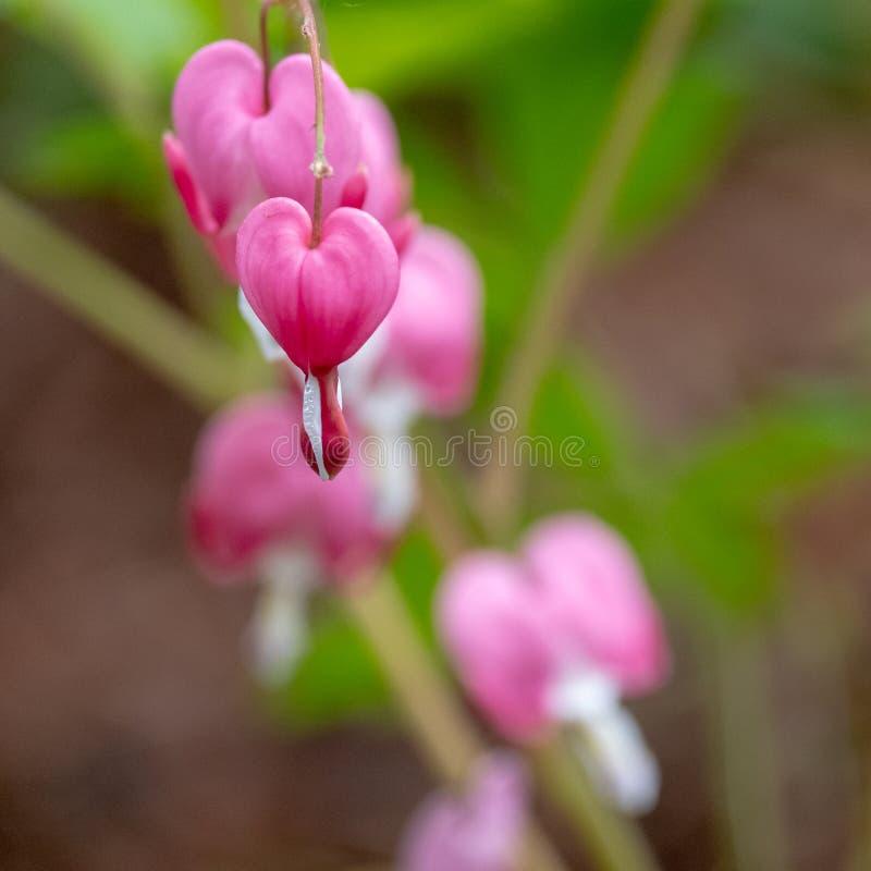 Makro- fotografia beeding serce kwiaty, tak?e zna? jak ?dama w sk?paniu ?lub lira kwiacie, fotografuj?cym w Surrey, UK obrazy royalty free