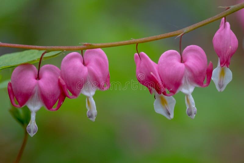 Makro- fotografia beeding serce kwiaty, tak?e zna? jak ?dama w sk?paniu ?lub lira kwiacie, fotografuj?cym w Surrey, UK obraz royalty free