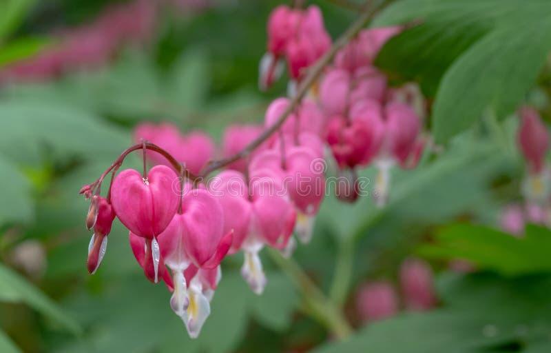 Makro- fotografia beeding serce kwiaty, tak?e zna? jak ?dama w sk?paniu ?lub lira kwiacie, fotografuj?cym w Surrey, UK obrazy stock