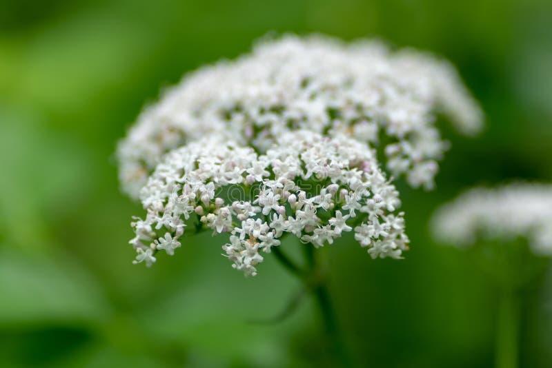 Makro- fotografia biali kwiaty przeciw tłu ulistnienie zdjęcie royalty free