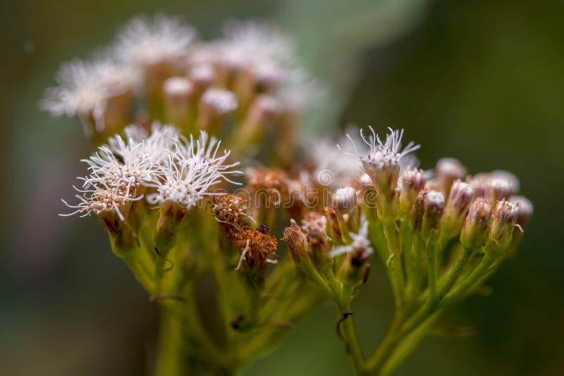 Makro- fotografia biali mistflowers zdjęcia royalty free
