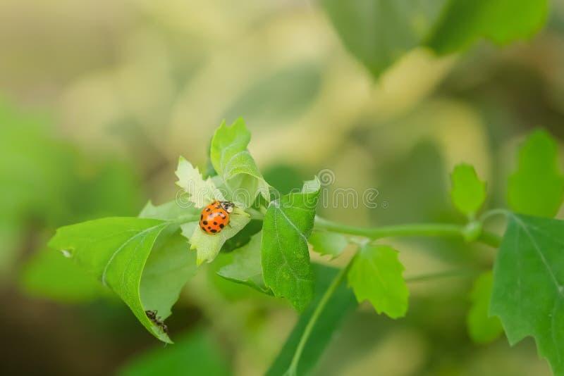 Makro- fotografia biedronka na zielonym liściu Zamyka w górę biedronki na liściu Wiosny natury scena zdjęcie royalty free