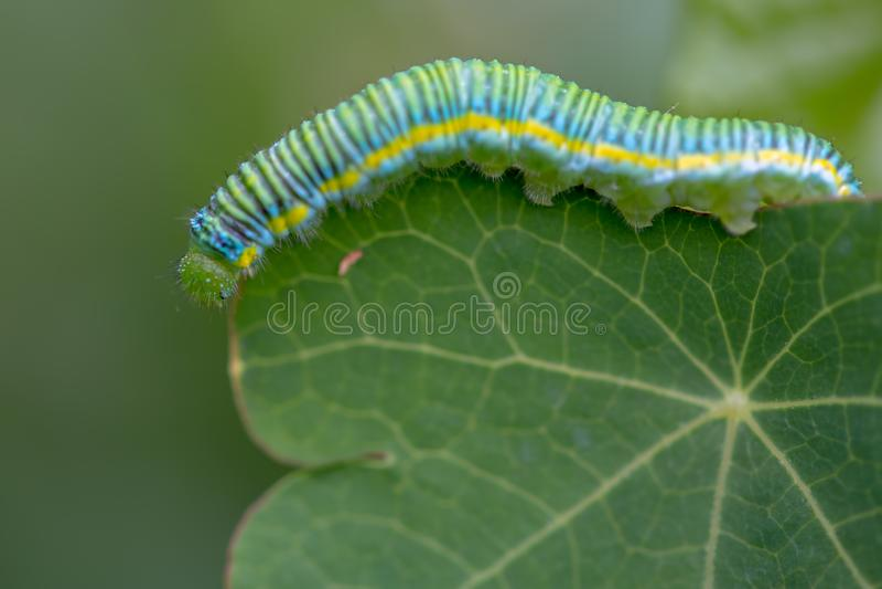 Makro- fotografia chmurniejąca żółta motylia gąsienica zdjęcia royalty free