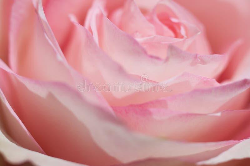 Makro- fotografia cukierki menchii róża Miękki wizerunek, selekcyjna ostrość romantyczny tło fotografia stock