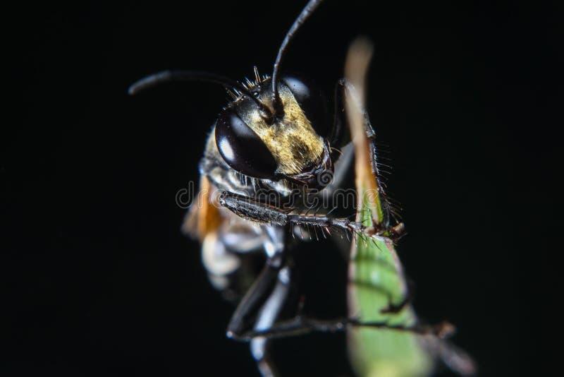 Makro- fotografia czarnej pszczoły insekt na zielonym liściu z odosobnionym czarnym tłem fotografia royalty free