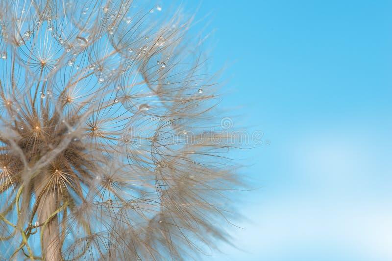 Makro- fotografia deflowered kwiat dandelion przeciw th fotografia stock